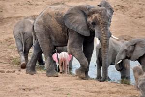 elephant-rose-2